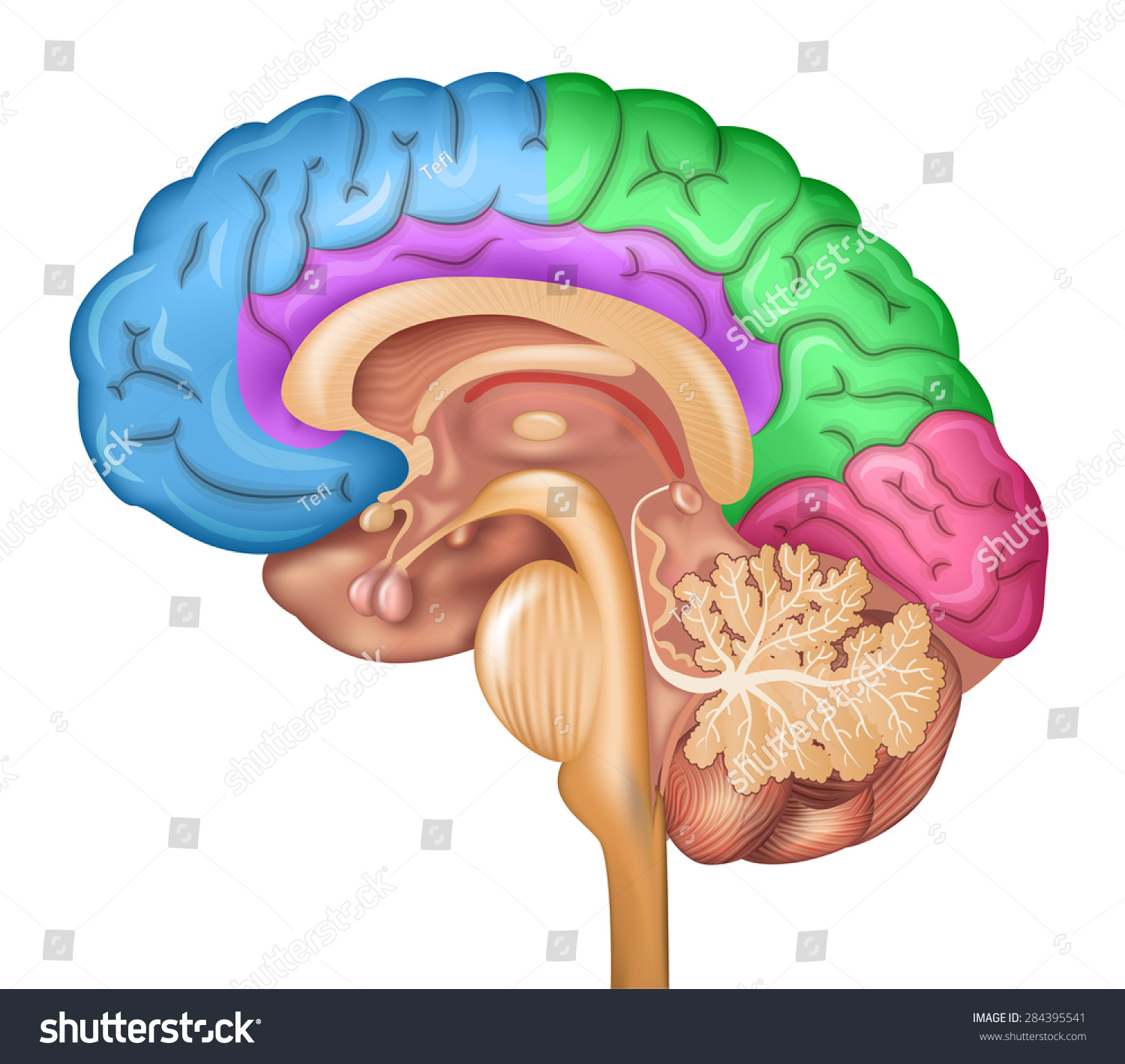 Human Brain Lobes Beautiful Colorful Illustration Stock Illustration