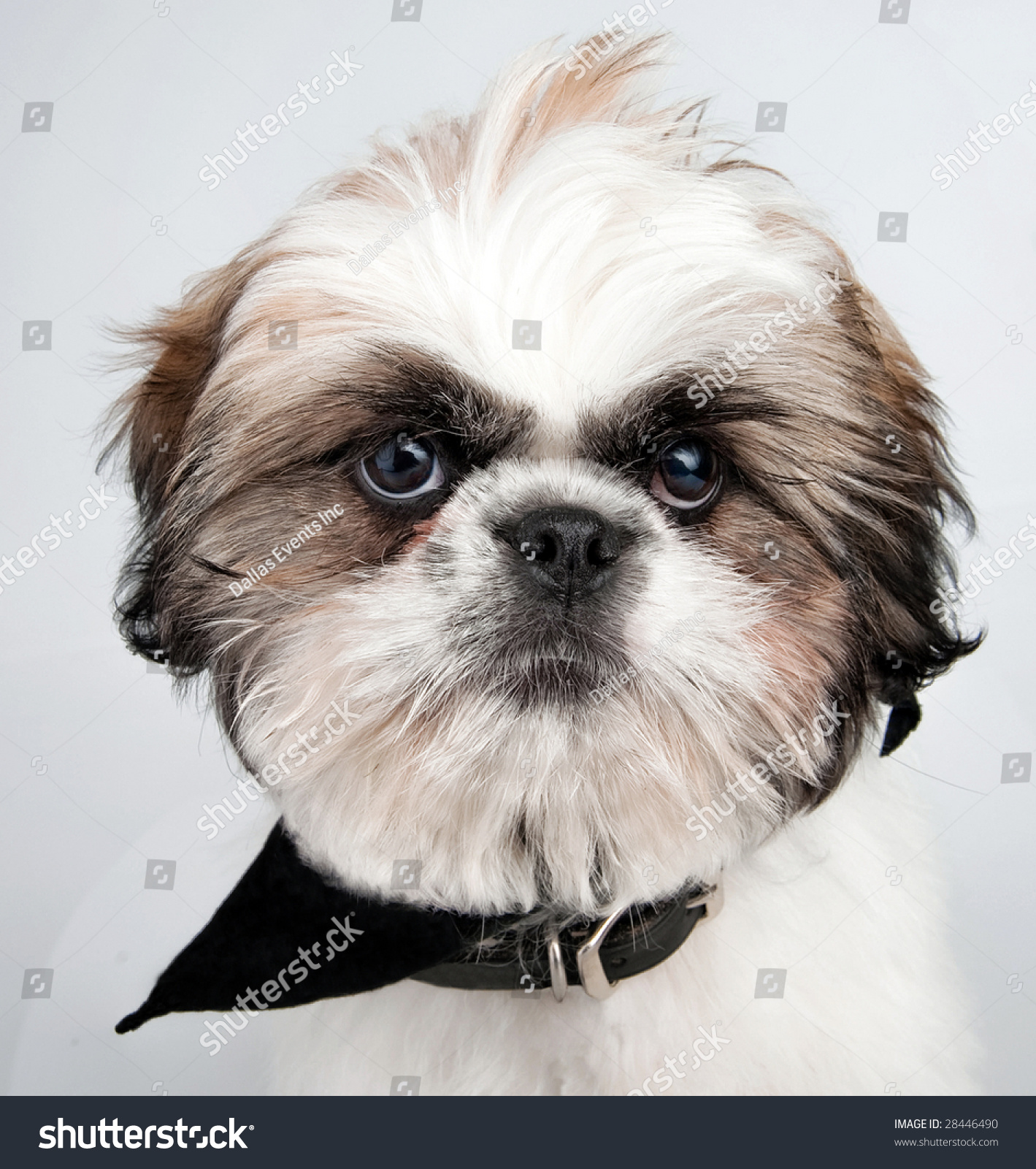 4 month old shih tzu closeup image 4 month old shih stock photo 28446490 8654