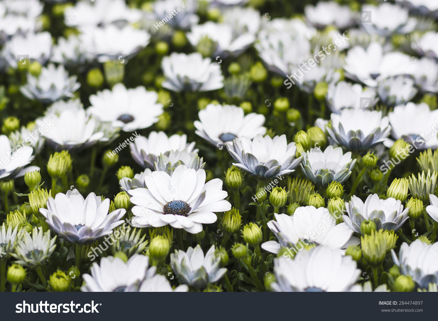 Field White Flowers Stock Photo 100 Legal Protection 284474897