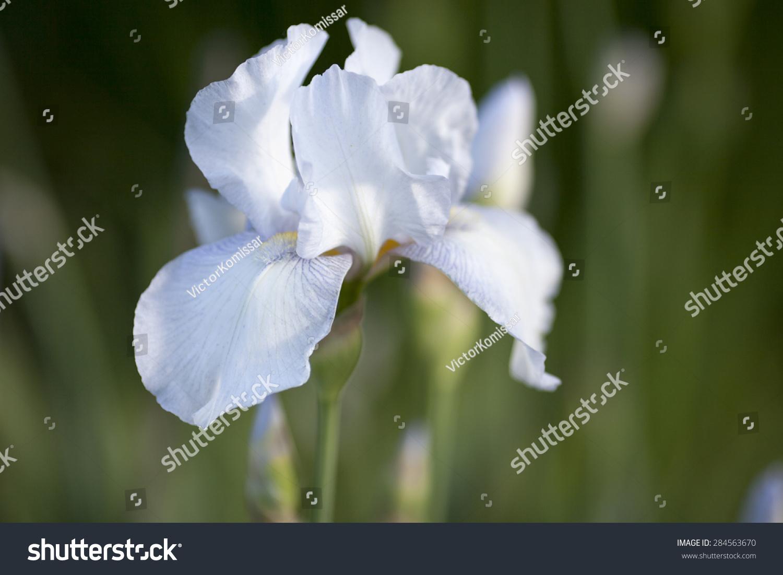 A White Iris Flower Ez Canvas