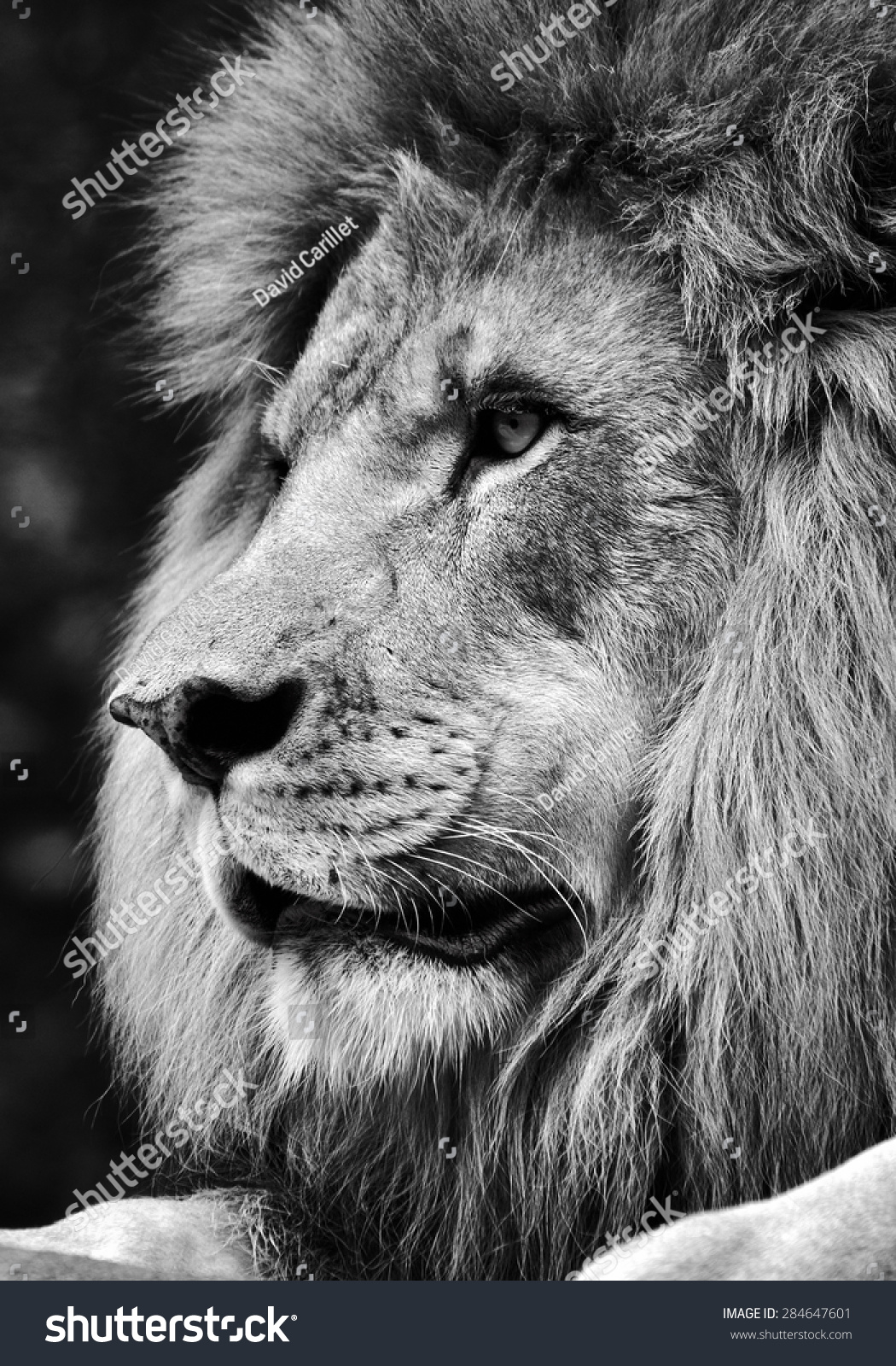 White lion face images - photo#22