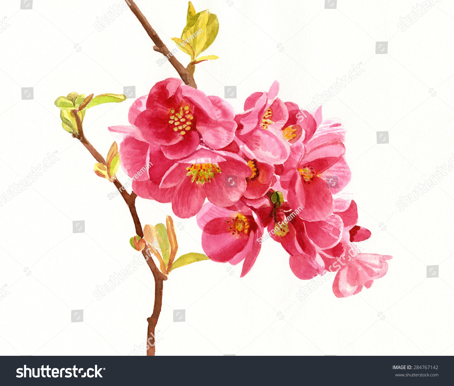 Salmon Colored Flowering Quince Blossoms Watercolor Stock ...