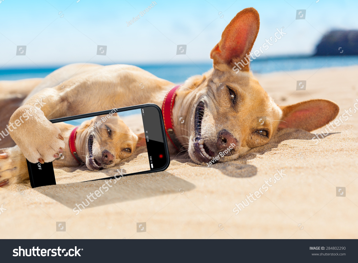 d65ef7b2d Chihuahua Dog Relaxing Resting Lying On Stock Photo (Edit Now ...