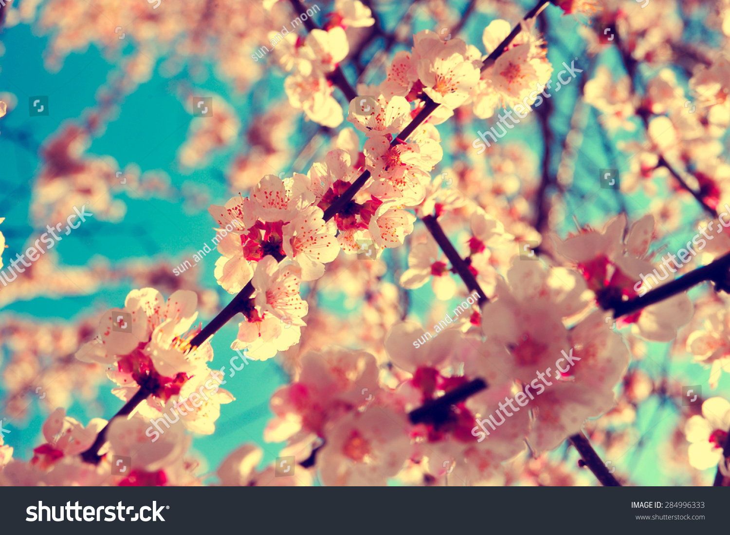 Royalty Free Apricot Tree Branch With Flowers 284996333 Stock