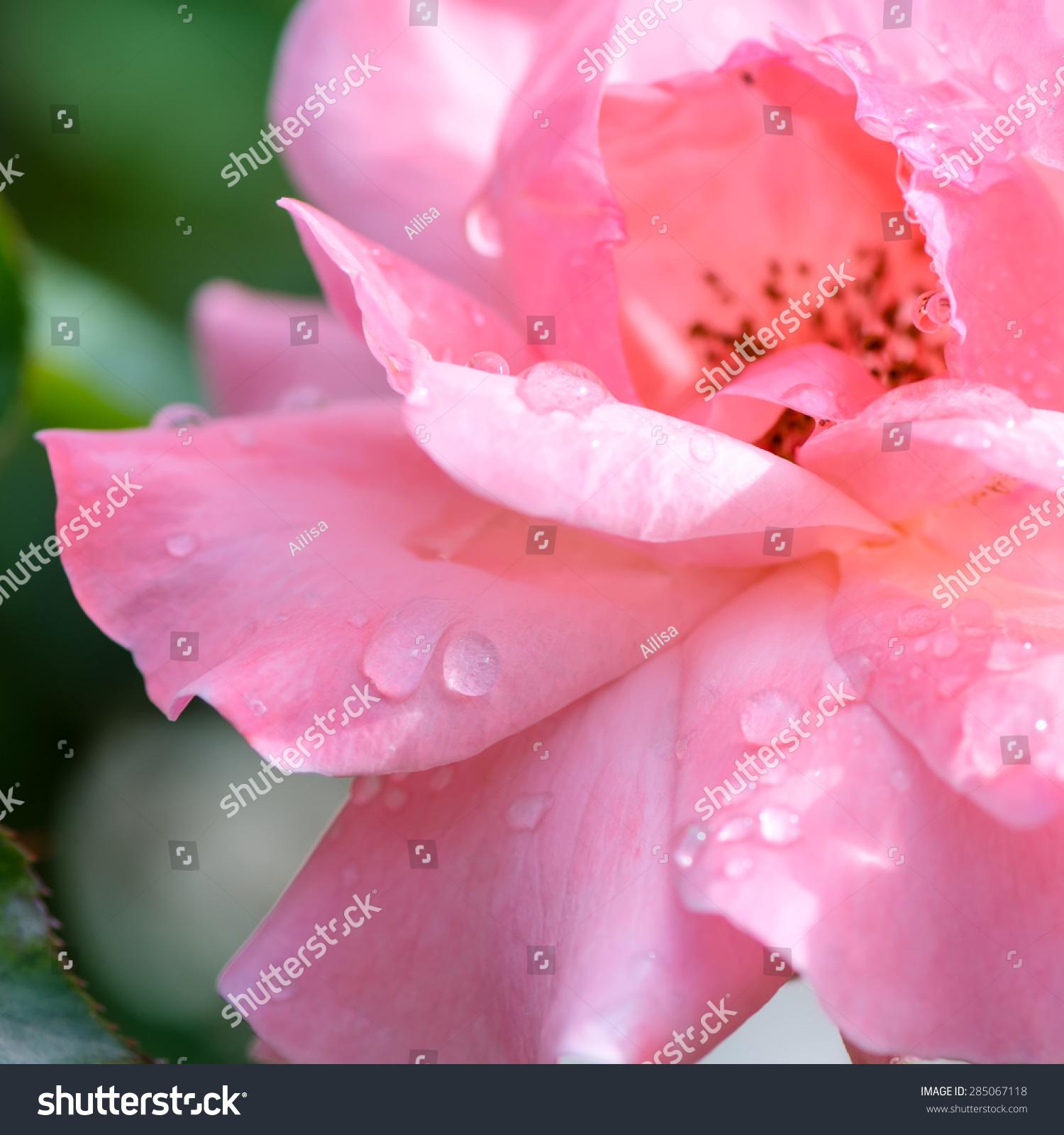 Beautiful Romantic Pink Roses Flowers Water Stock Photo Royalty
