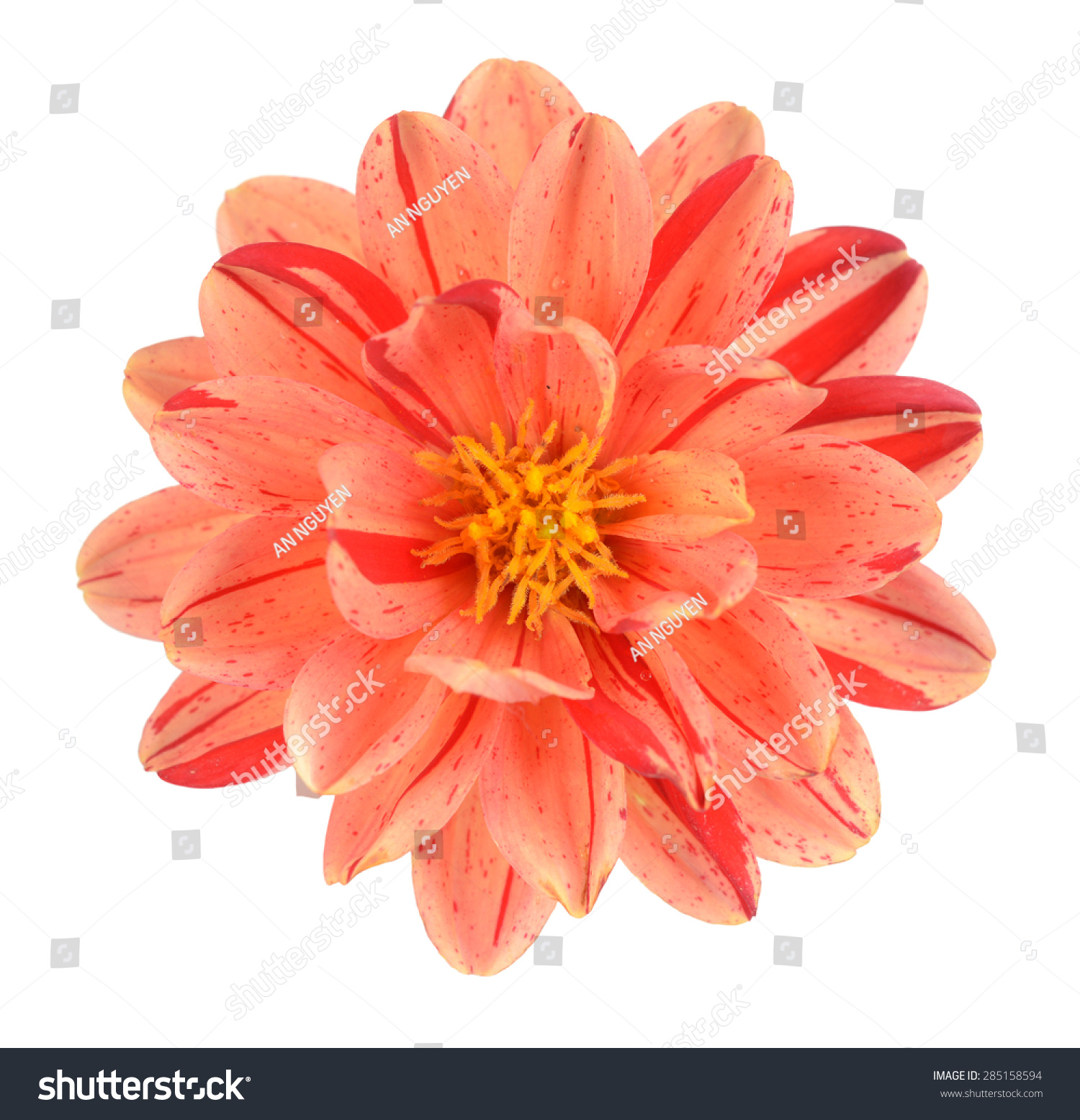 Two Tone Red Orange Dahlia Flower Stock Photo Edit Now 285158594