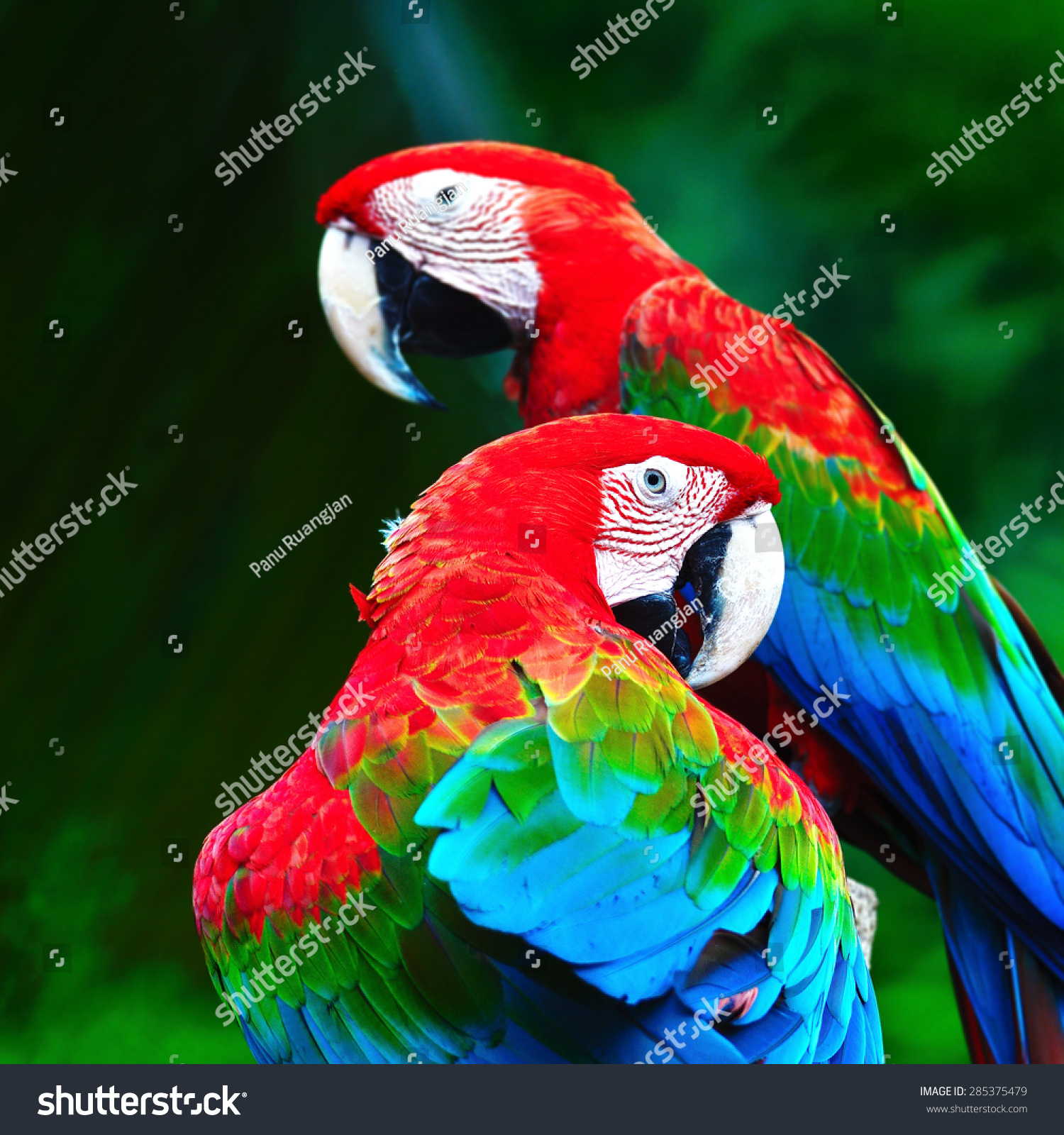 The big beautiful Ara parrot close up head view Stock Photo ...