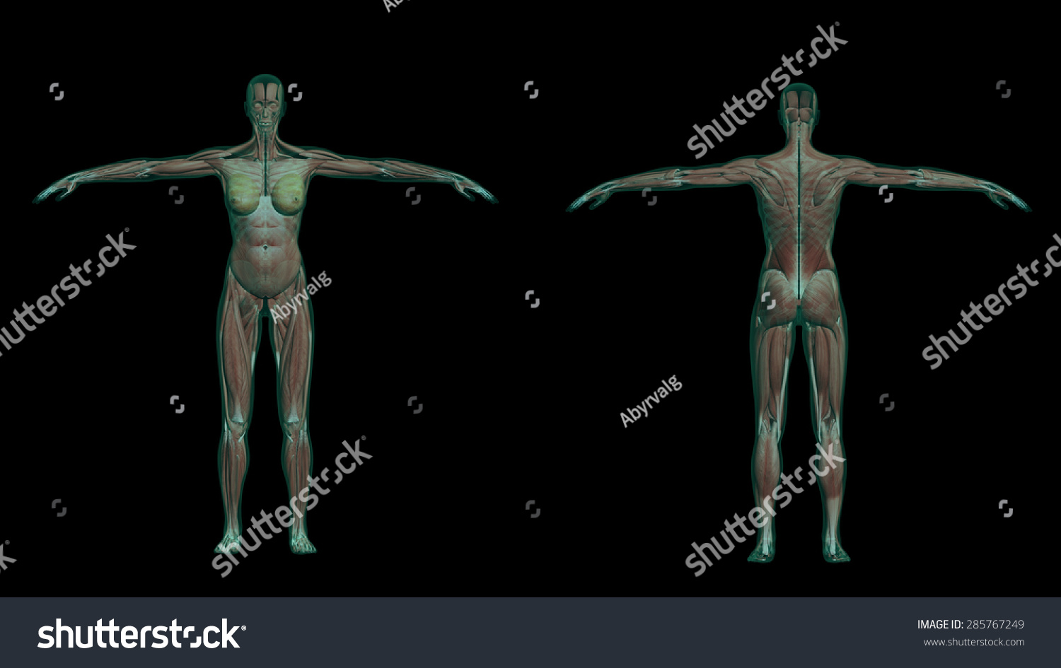 3 D Illustration Human Female Anatomy Muscles Stock Illustration ...
