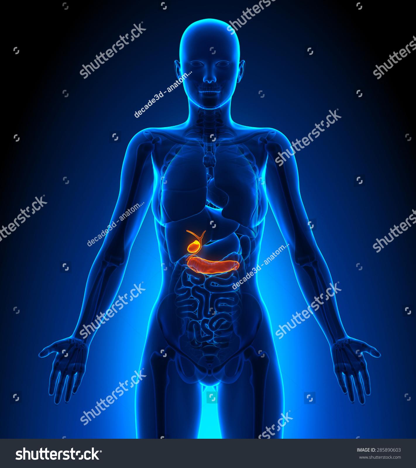 Larynx - Female Organs Human Anatomy | EZ Canvas