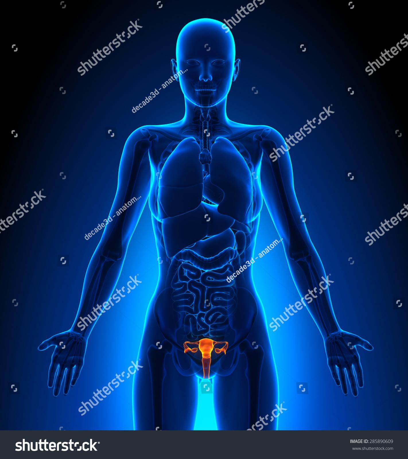 Reproductive System Female Organs Human Anatomy Ez Canvas