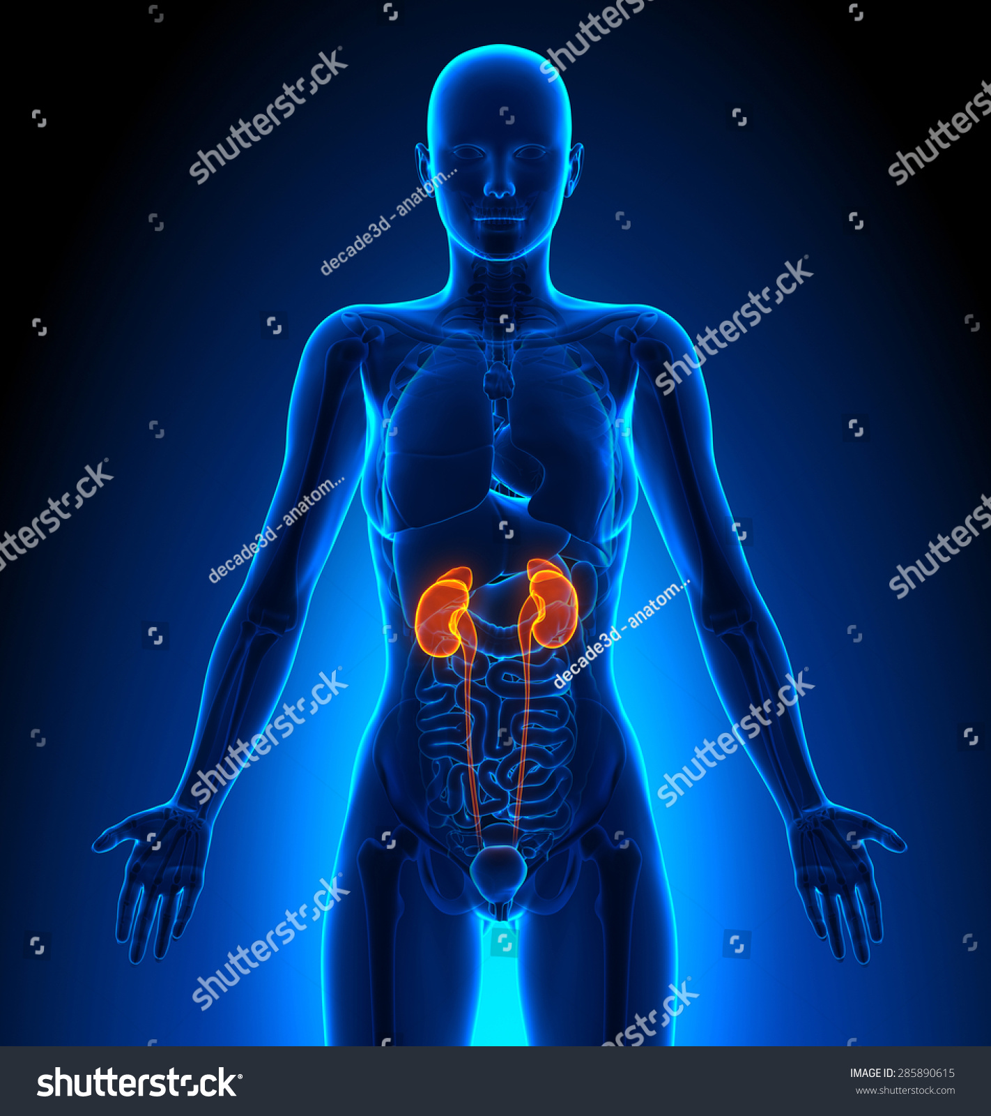 Kidneys Female Organs Human Anatomy Ez Canvas