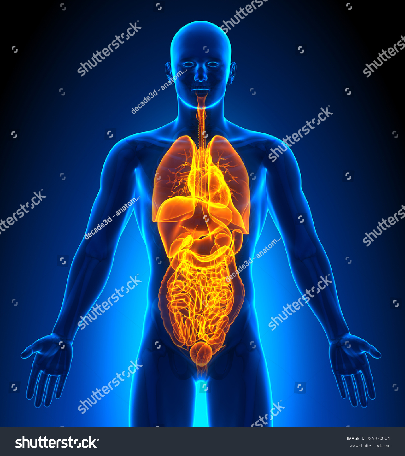 Internal Organs Male Organs Human Anatomy Stock Illustration