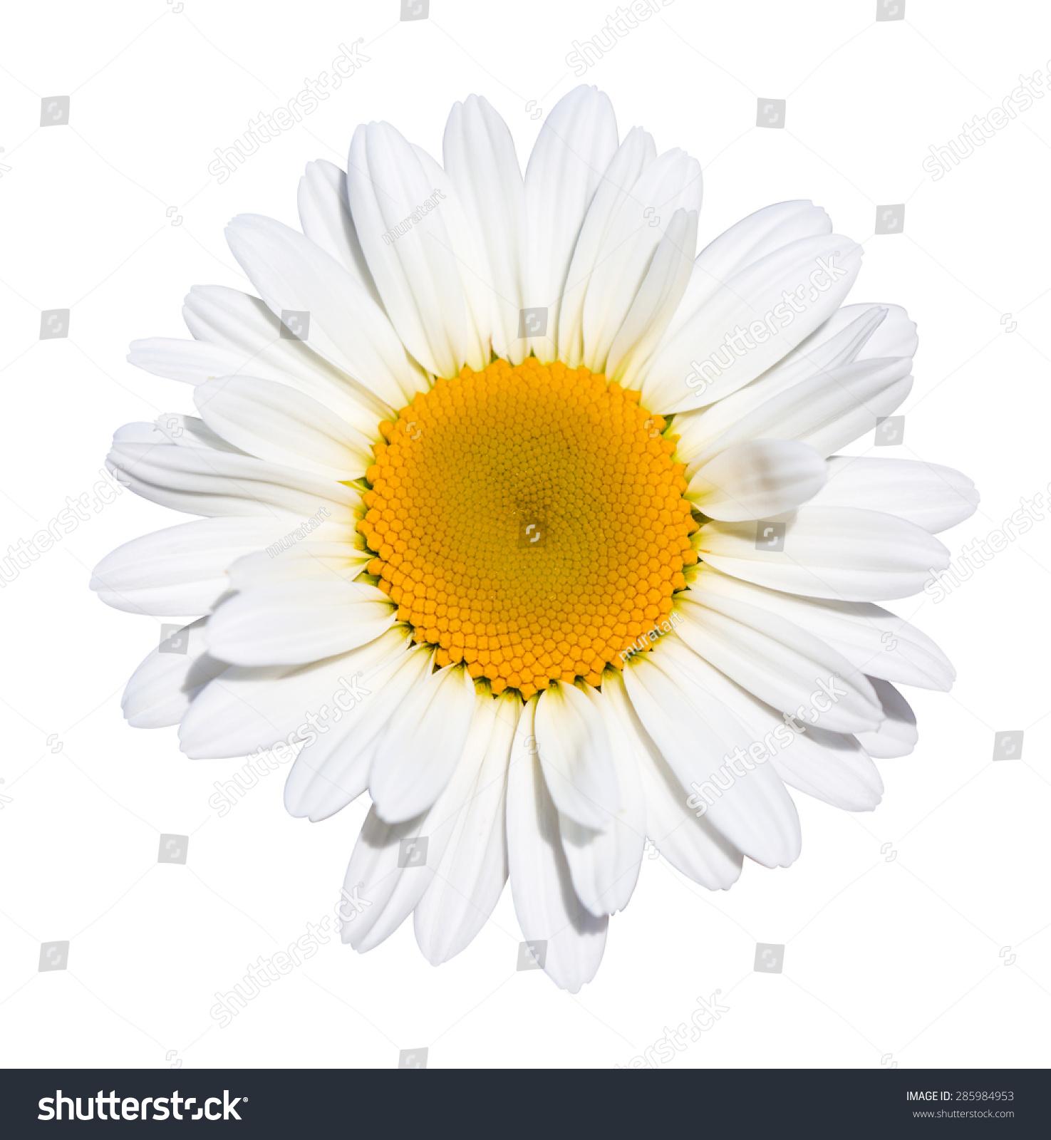 Beautiful daisy flower on white background stock photo royalty free beautiful daisy flower on white background izmirmasajfo Choice Image