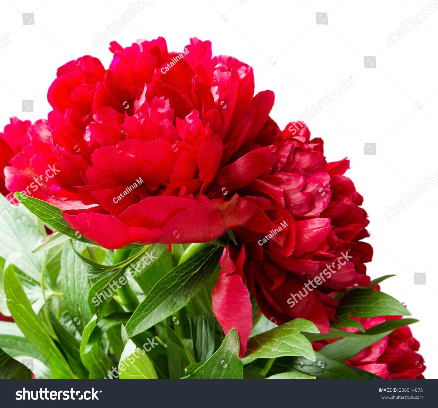 Ivy Leaved Geranium With Red Flowers On White Background Hanging