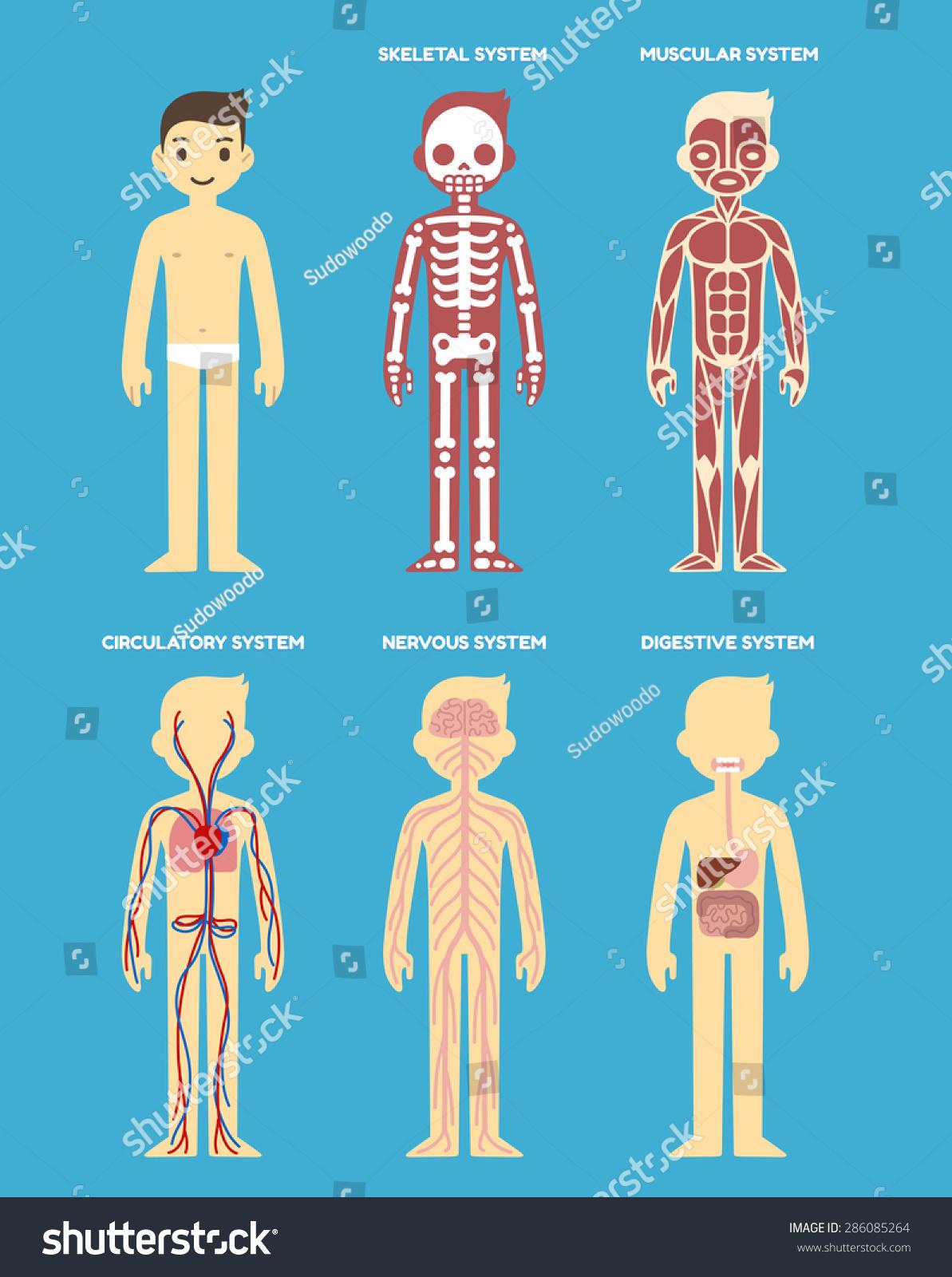 Stylized Human Body Anatomy Chart Skeletal Stock Vektorgrafik