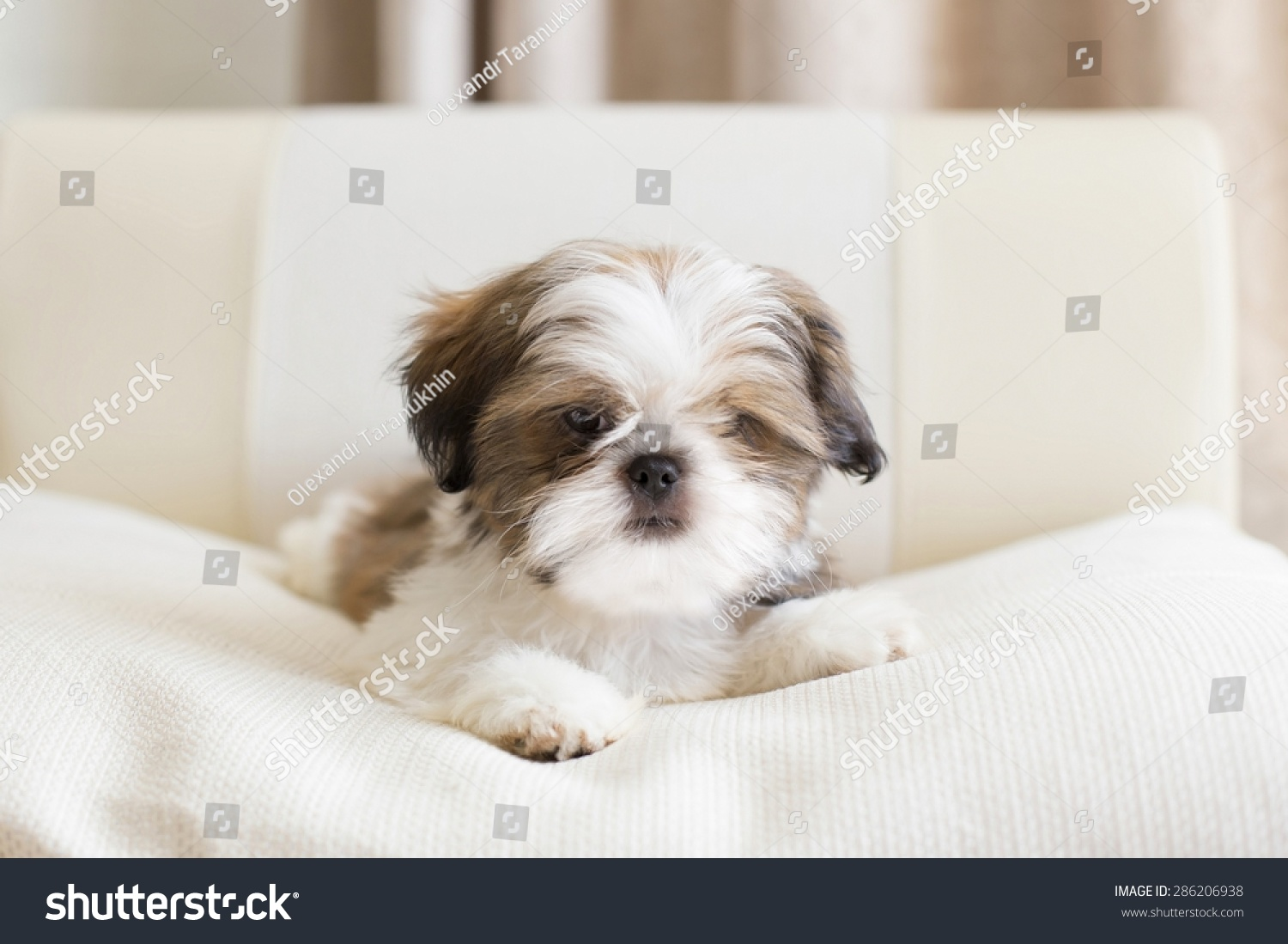 Lovely Colored Shih Tzu Puppy Posing Stock Photo Edit Now 286206938