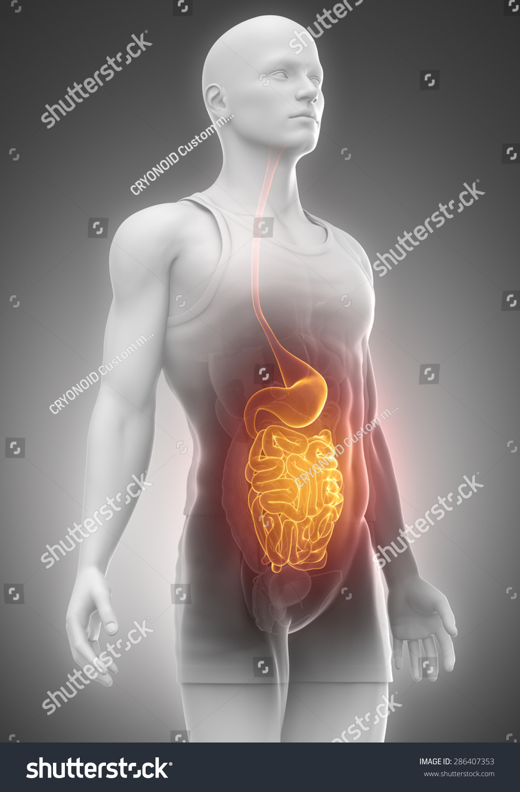 Stomach Intestines Male Anatomy Left View Stock Illustration