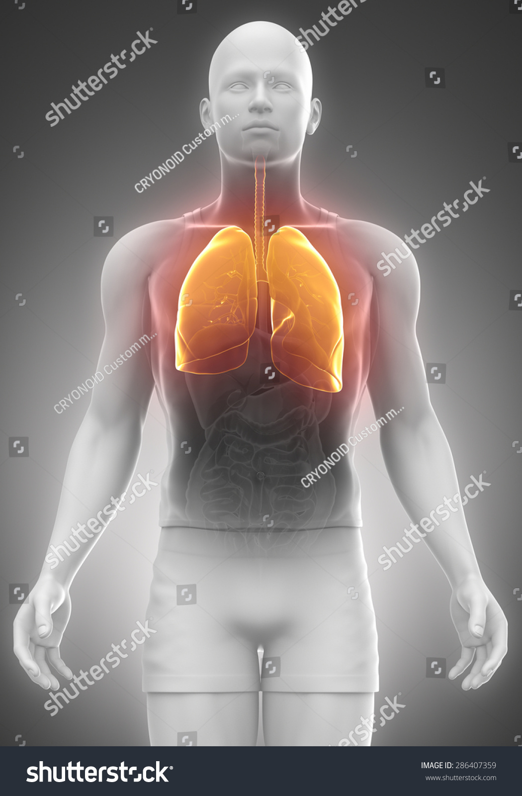 LUNGS Male Anatomy Front View Stock Illustration 286407359 ...