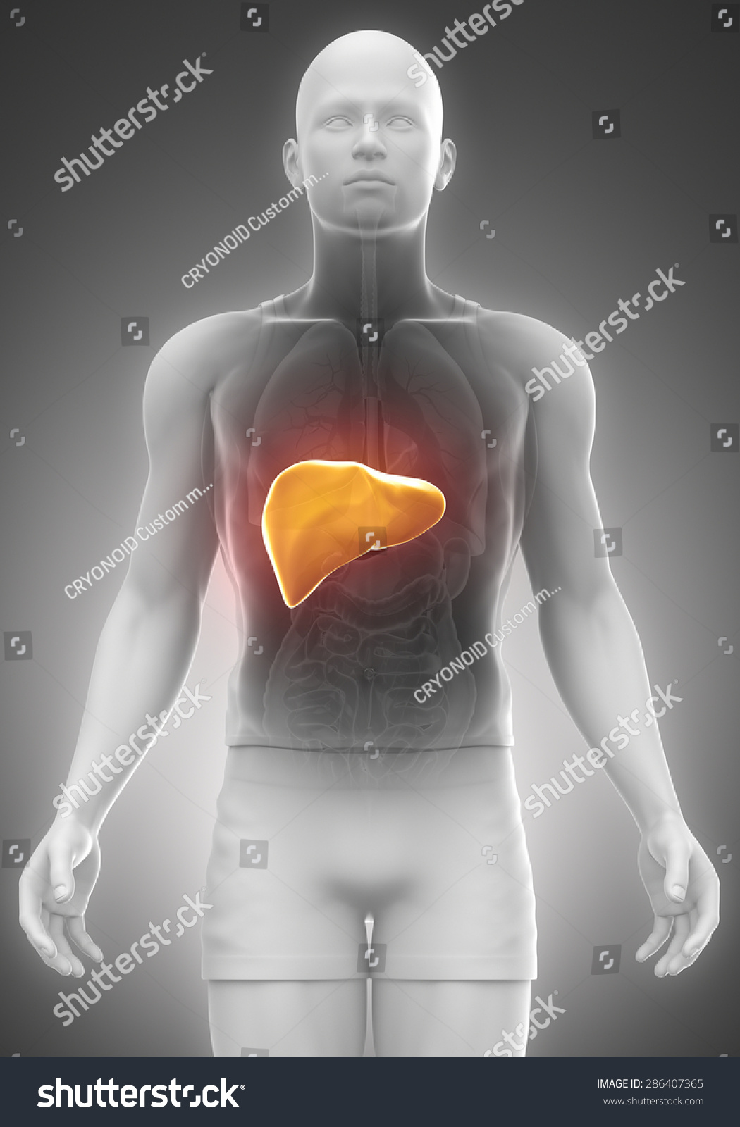 Liver Male Anatomy Front View Stock Illustration 286407365