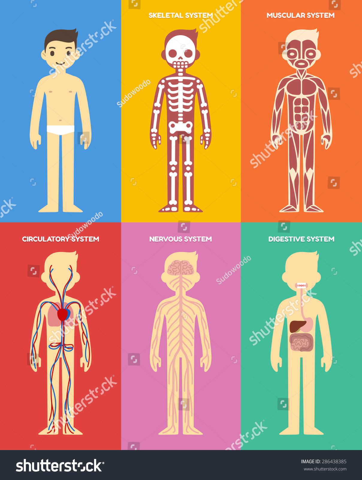 exam for muscular and nervous system The muscular system is made up of specialized cells called muscle fibers their main function is contractibility muscles, connected to bones or internal organs and blood vessels, are in charge for movement almost every movement in the body is the outcome of muscle contraction.
