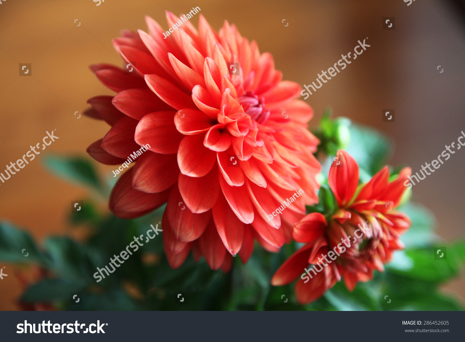 Beautiful orange dahlia flower green leaves stock photo edit now beautiful orange dahlia flower with green leaves on wooden background izmirmasajfo