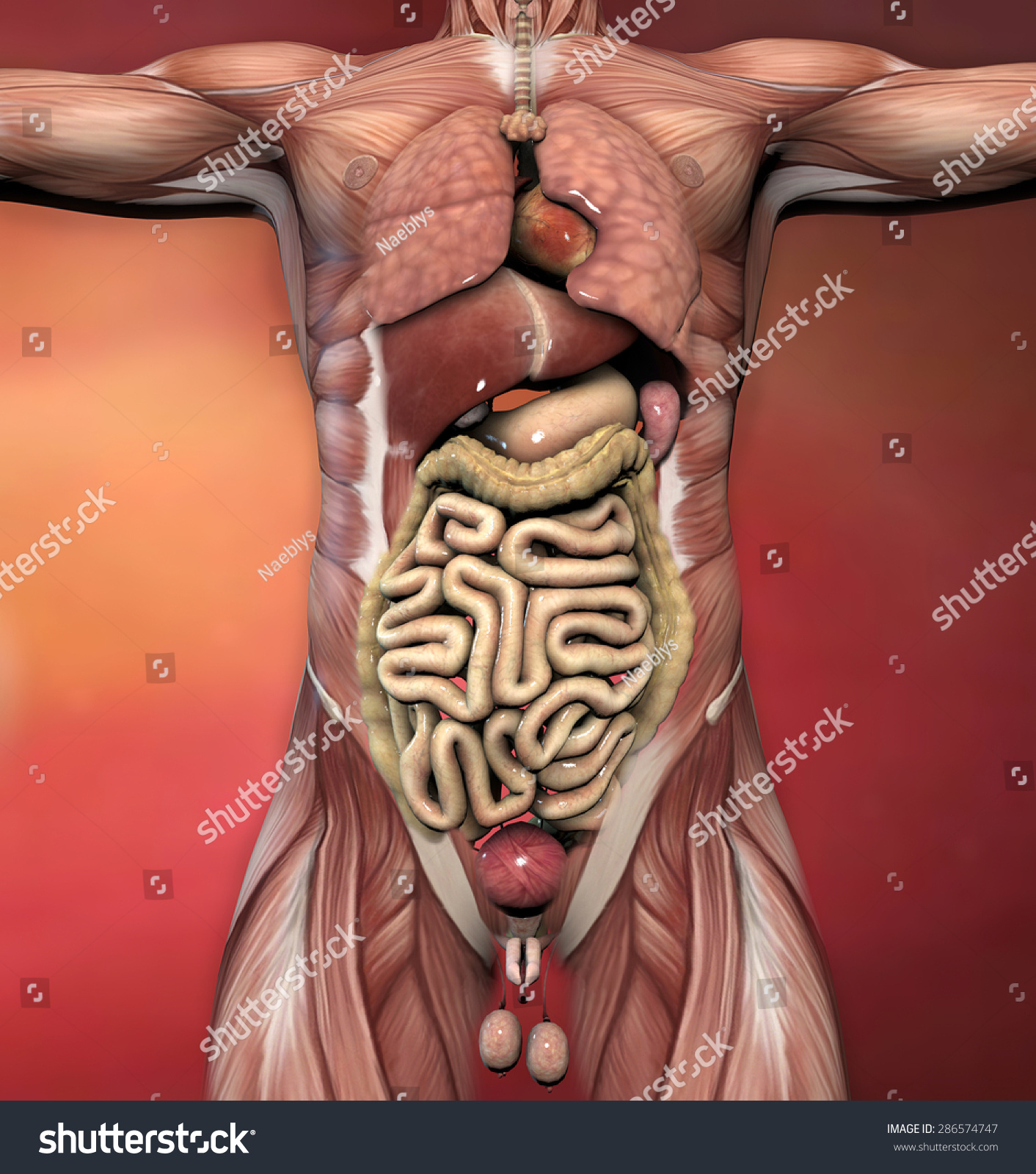 Male Human Body Anatomy Muscles Organs Stock Illustration Royalty