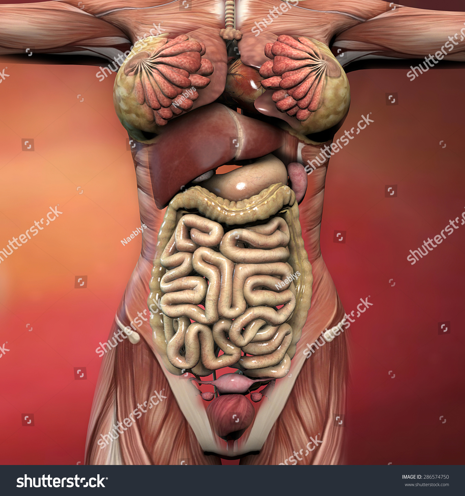 Female Human Body Anatomy Muscles Organs Stock Illustration