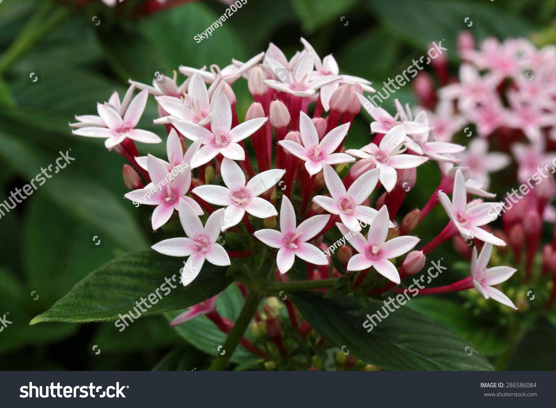 White Star Cluster Flowers Blooming Pentas Lanceolata Stock Photo ...