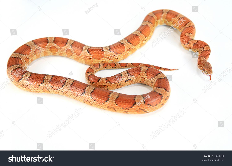 Fluorescent Orange Corn Snake Bright Orange Corn Sna...