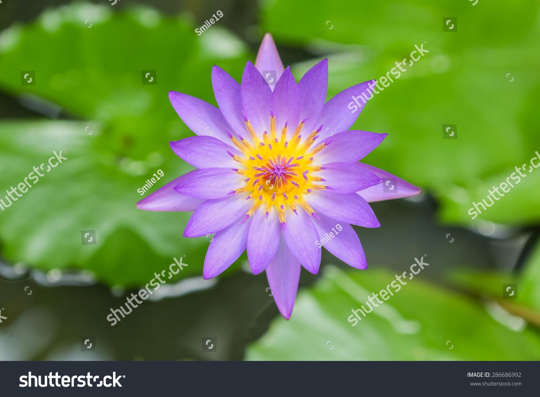 Lotus Ez Canvas