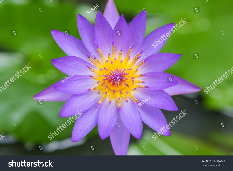Lotus Flower Ez Canvas