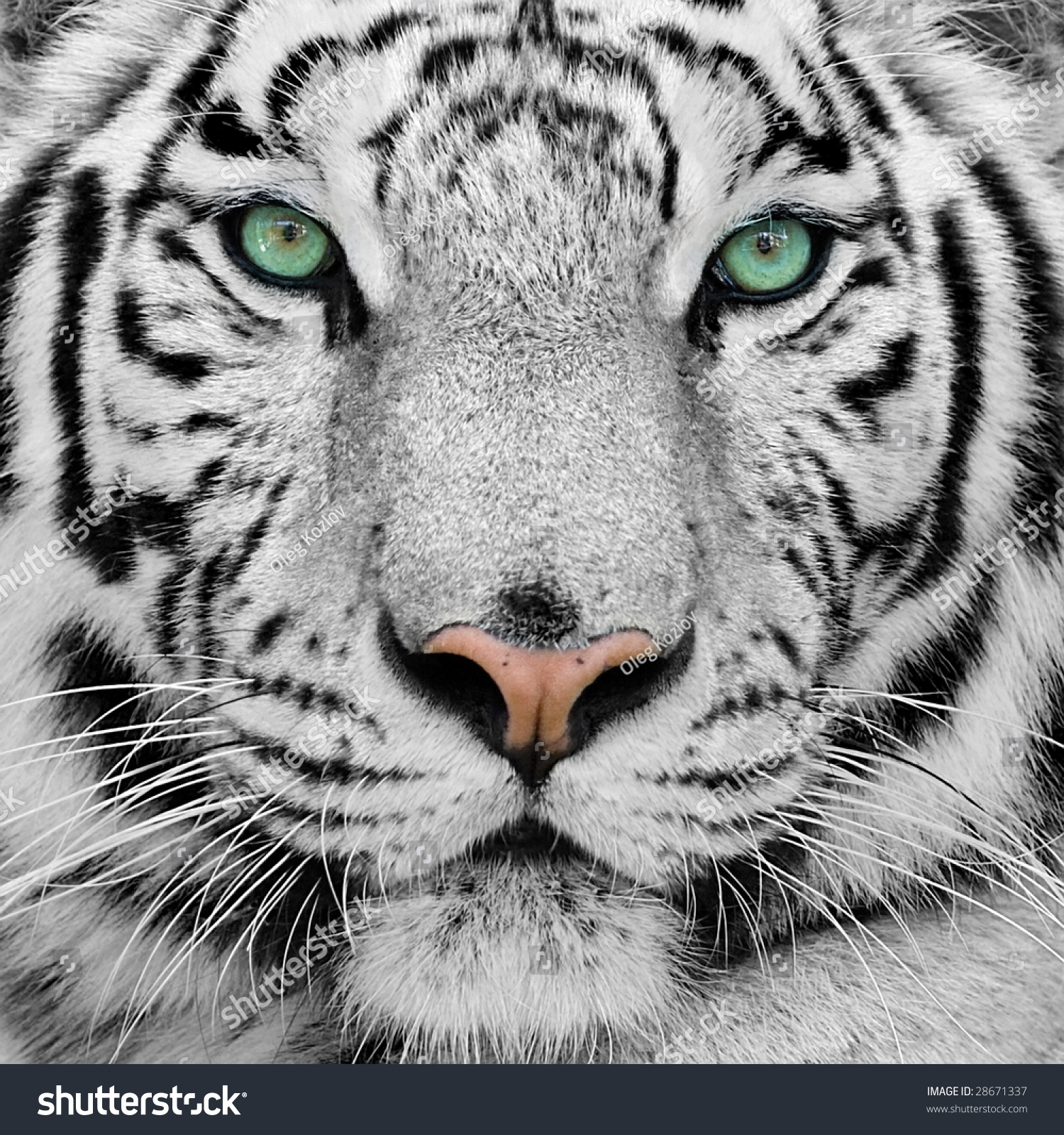 Tiger: White Tiger Stock Photo 28671337