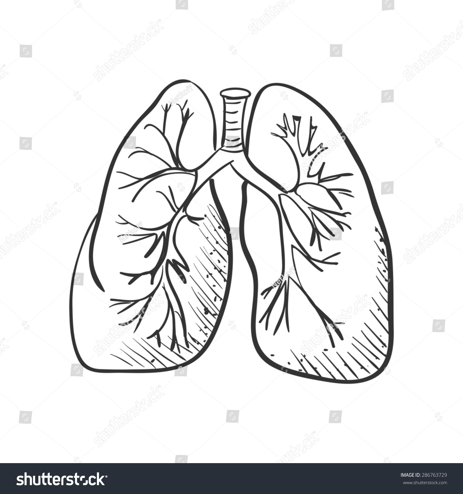 Lungs Sketch Stock Vector - Image: 39982679