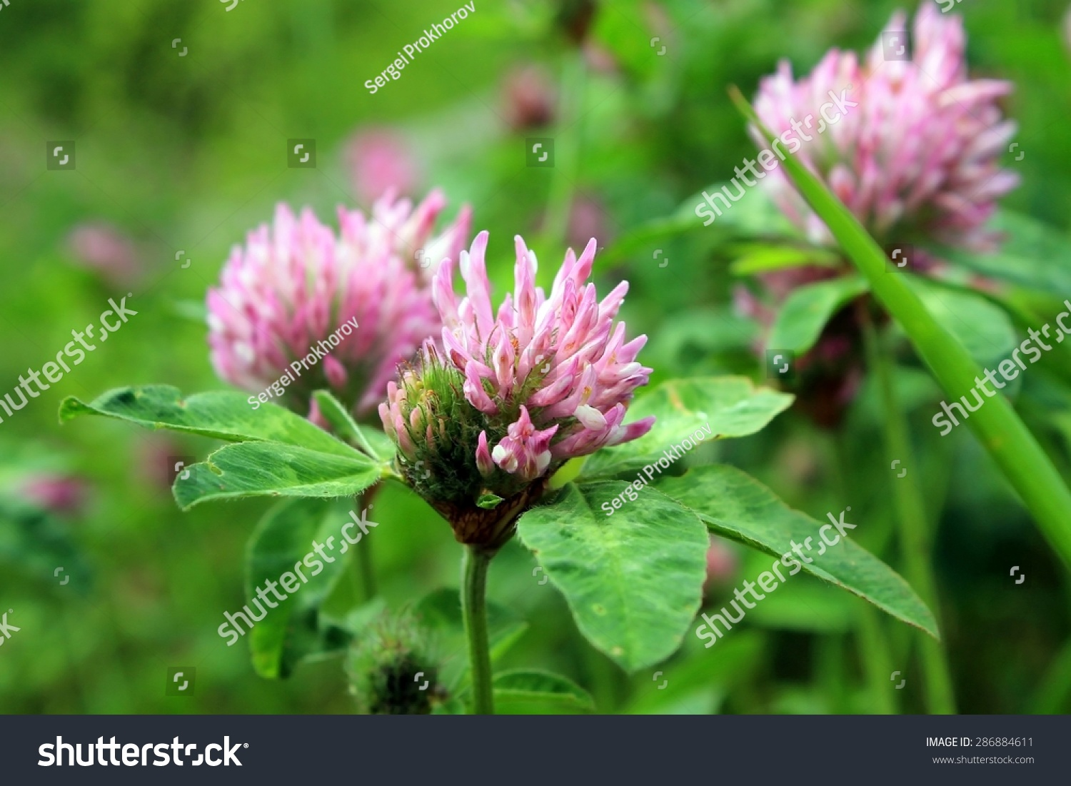 Purple Clover Flowers Summer Meadow Stock Photo Royalty Free