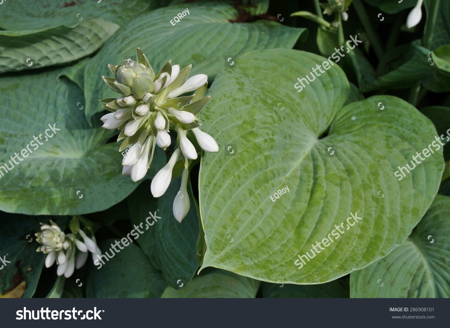 Magnificent hosta white flower gift images for wedding gown ideas amazing hosta white flower photos wedding and flowers ispiration mightylinksfo
