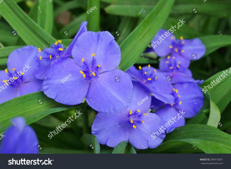 Purple Blue Spiderwort Tradescantia Flowers Trillium Stock Photo