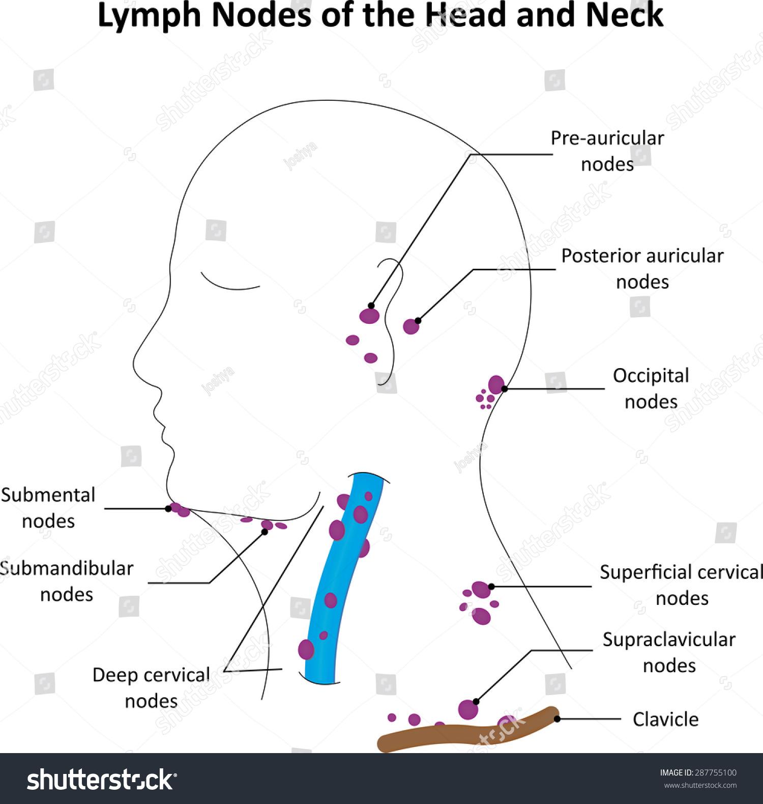Lymph       Nodes       Head    Neck Labelled    Diagram    Stock Illustration