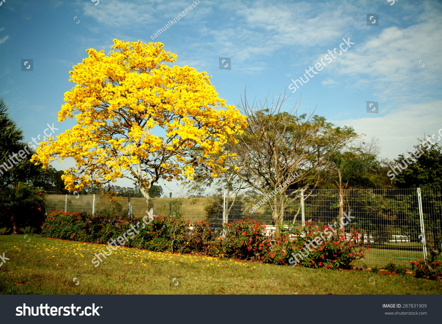 Beautiful Yellowflowered Tree Pictured September Sao Stock Photo