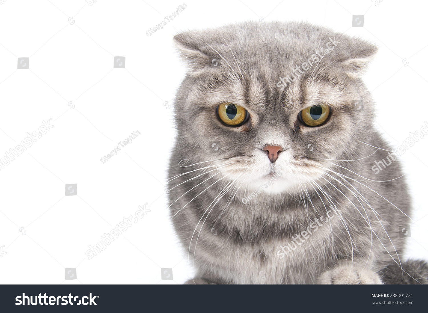 Angry Cat Breed Best Cat And Kitten Image And HD 2017