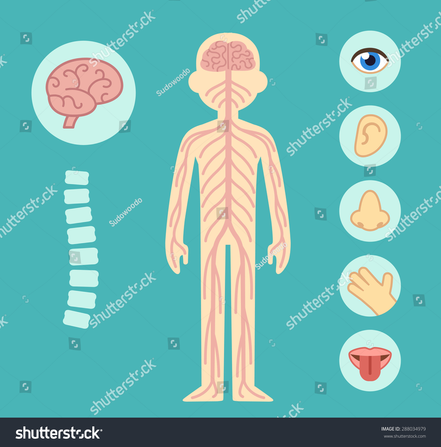 Nervous System Infographic Chart Elements Nerves Stock ...