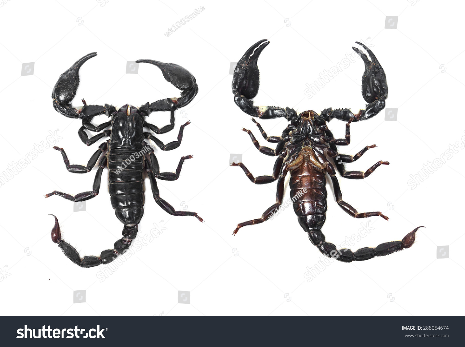 Anatomy Black Scorpion Stock Photo (Edit Now) 288054674 - Shutterstock