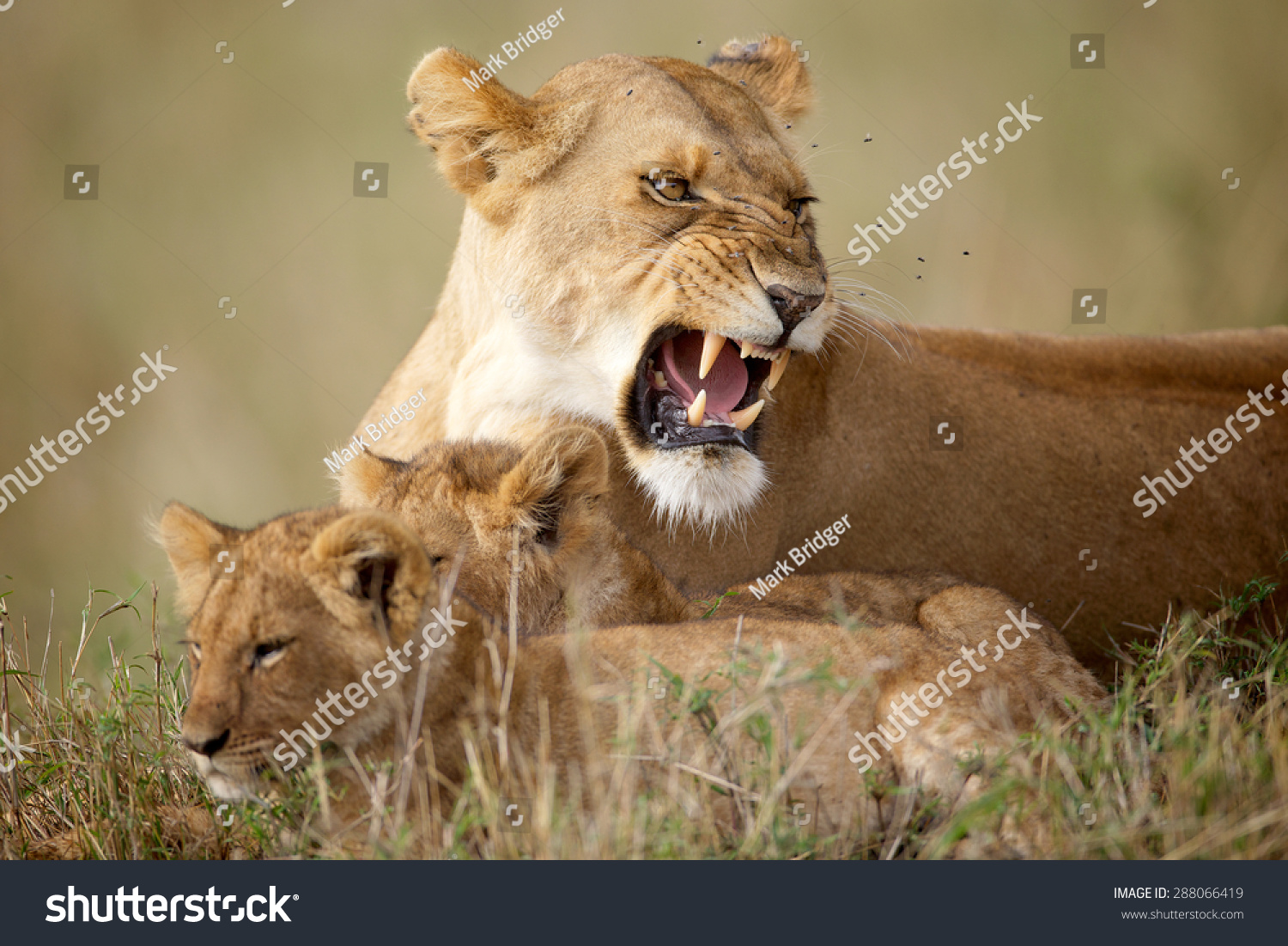 Lioness Growling Will Looking After Two Cubs Stock Photo 288066419 ...