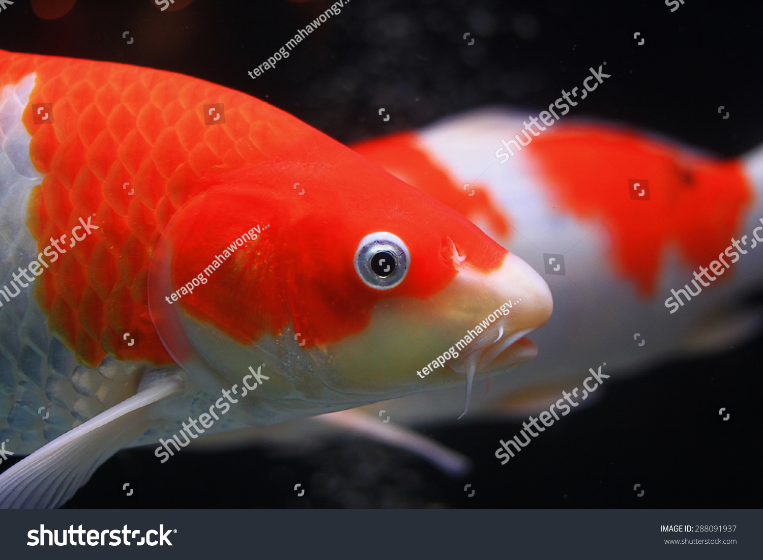 Orange Koi Fish Stock Photo (Royalty Free) 288091937 - Shutterstock