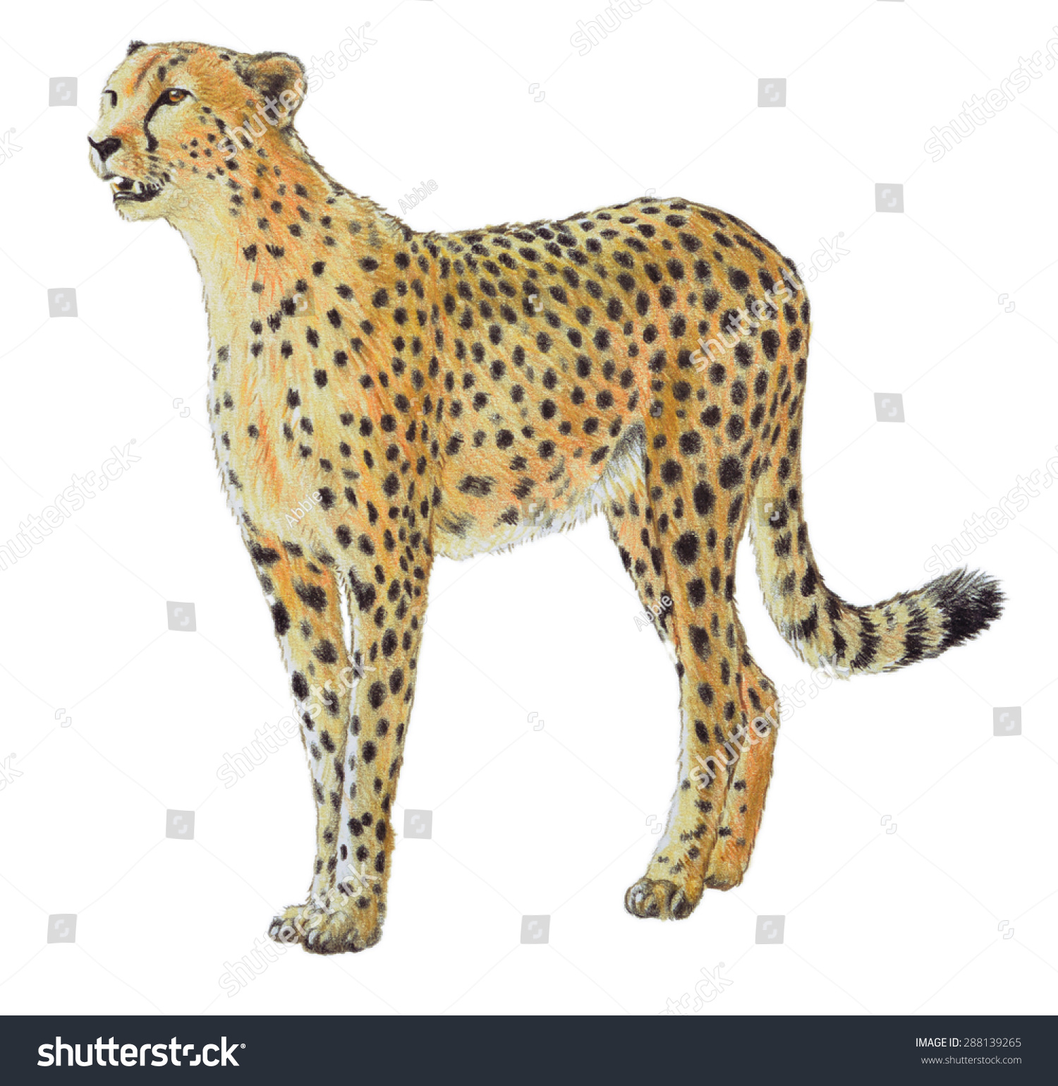 the background information of the african cheetah In anticipation of international cheetah day on wednesday 4th december, here are a few fun facts about the cheetah, and some specialist wildlife volunteer projects to.