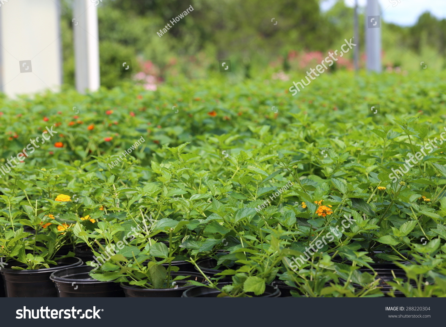 Plant nursery growing different types plants stock photo edit now a plant nursery growing different types of plants like plumbago lantana salvia and izmirmasajfo