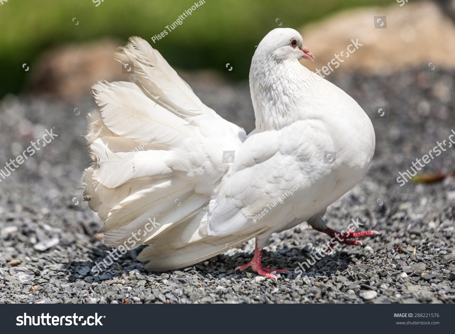 Fantail Pigeon Stock Photo 288221576 - Shutterstock