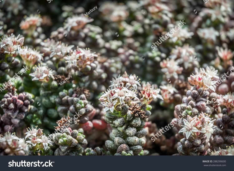 Delicate White Star Shaped Flowers Sedum Stock Photo Edit Now