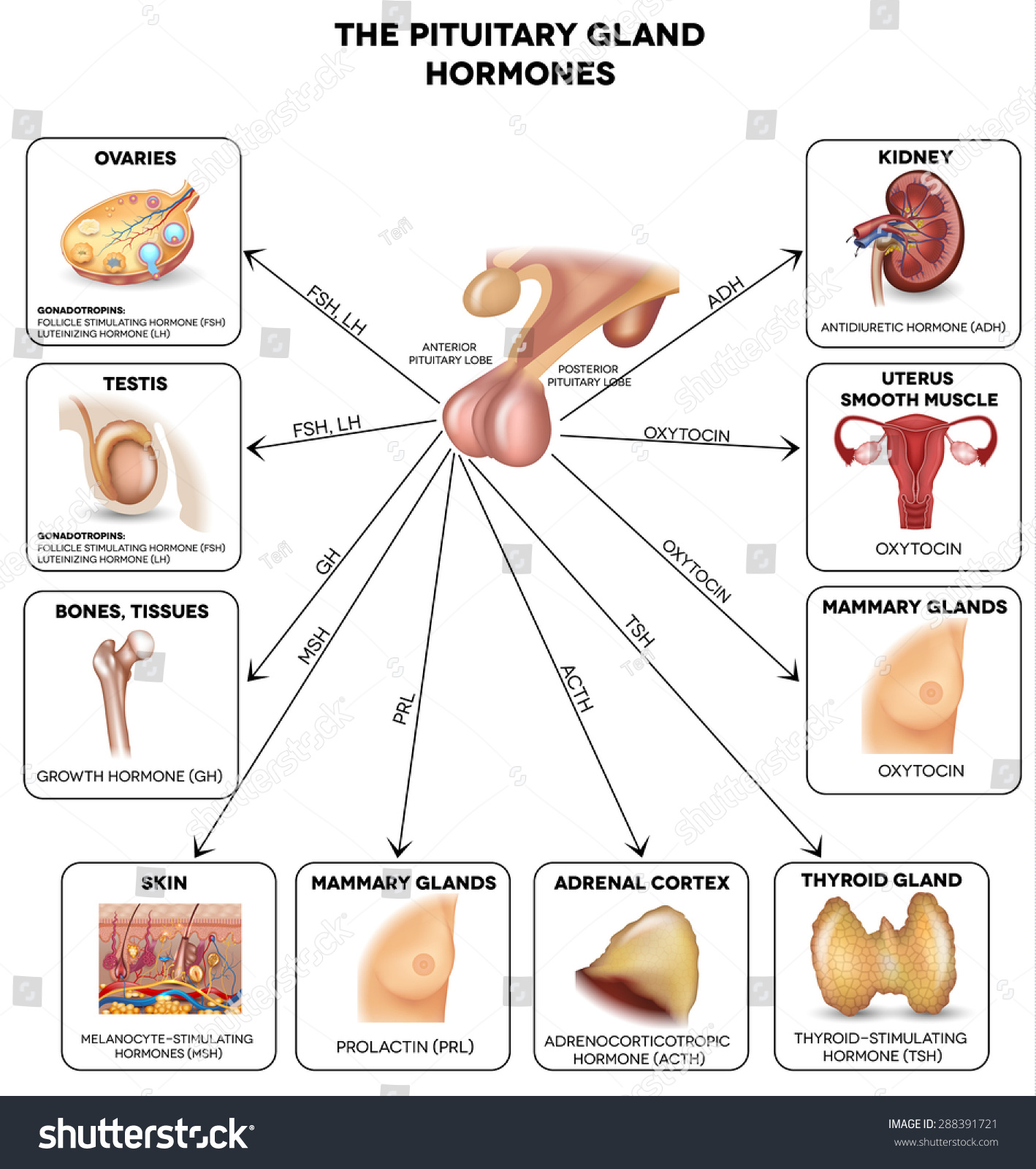 Pituitary Gland Secreted Hormones Influenced Organs Stock ...