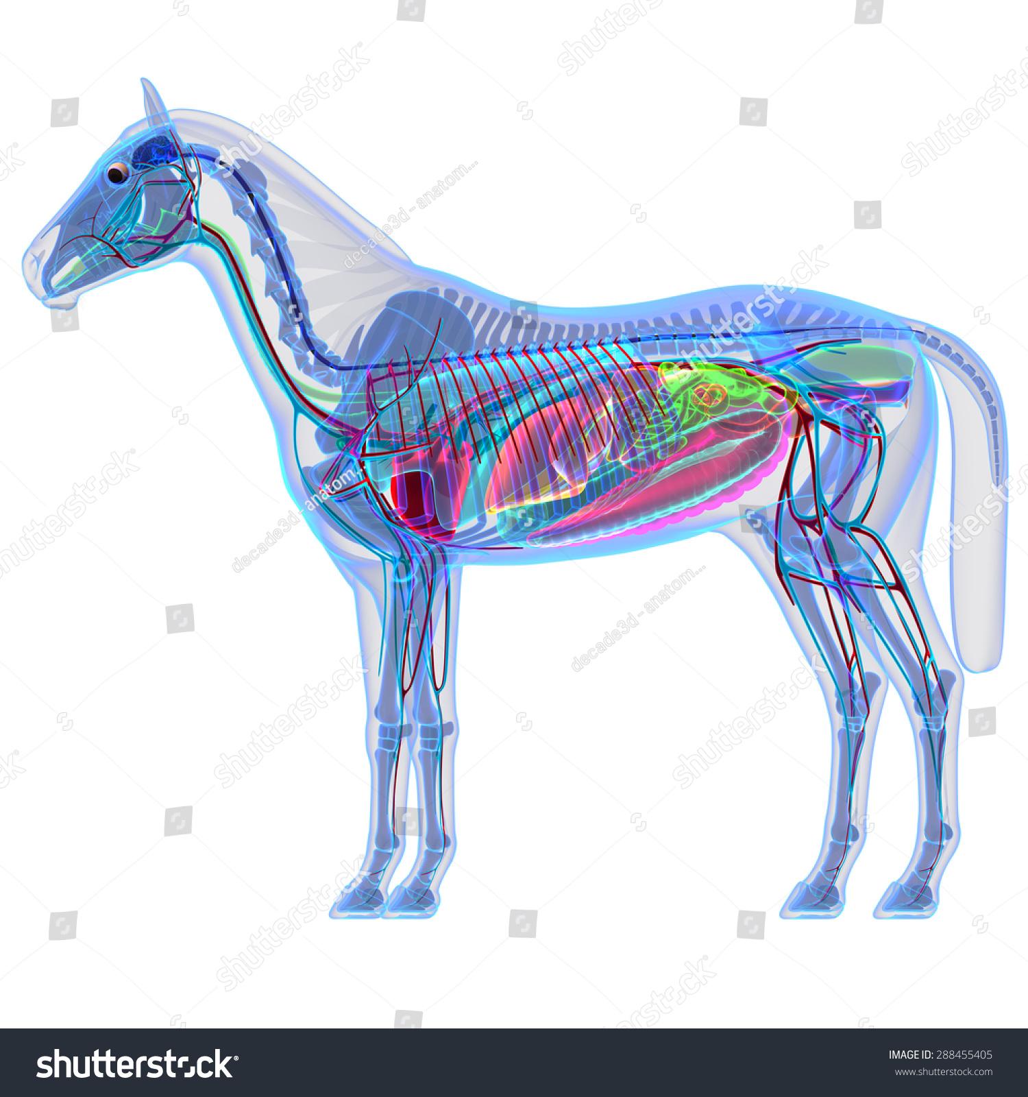 Horse Internal Organs Anatomy Stock Illustration 288455405 ...