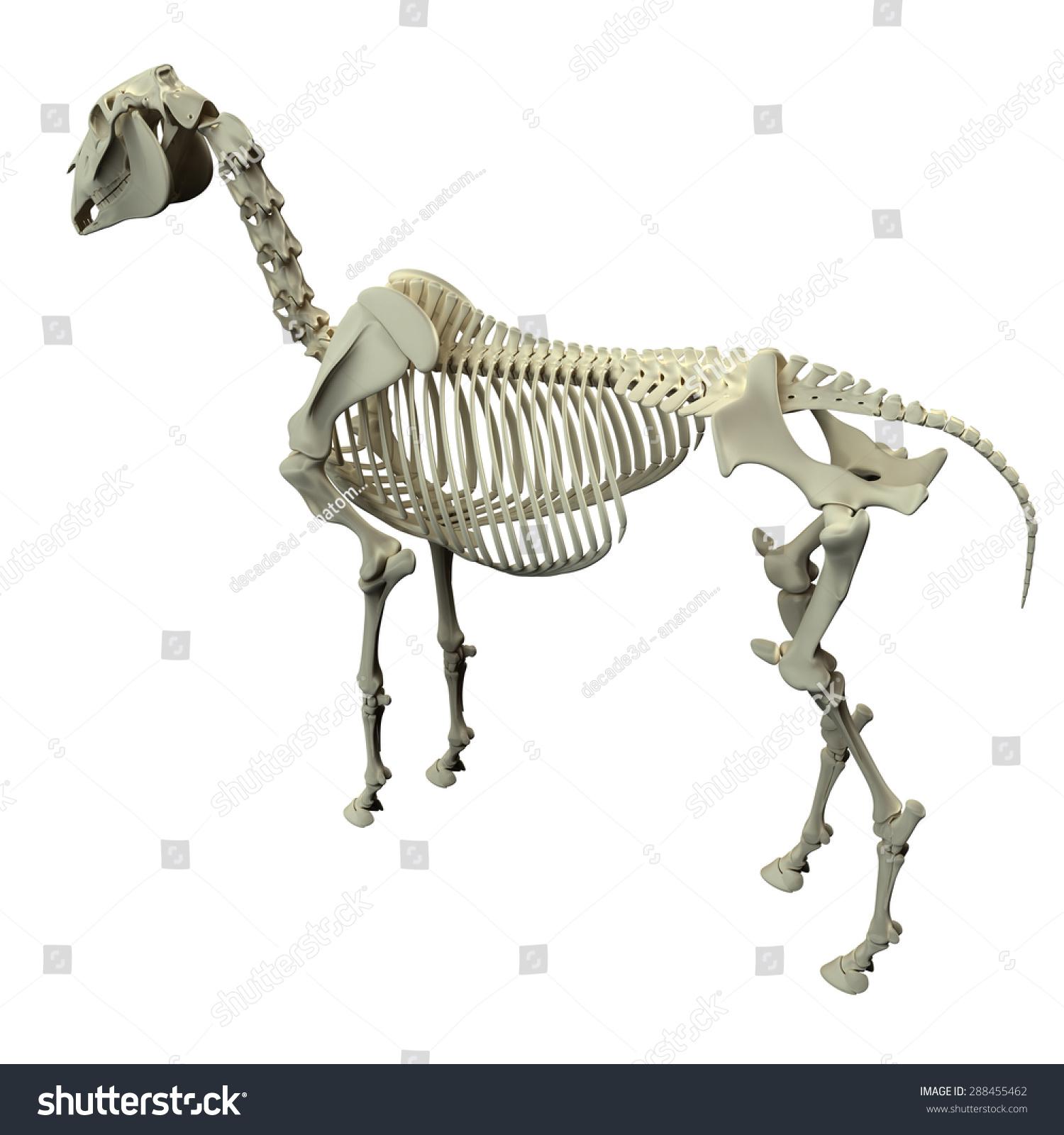 Horse Skeleton Back View Anatomy Isolated Stock Illustration ...